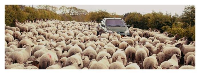 schapen weg