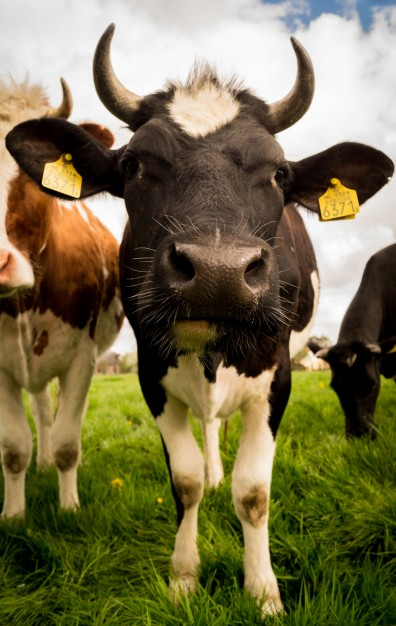close-encounter-with-cow_432-19315930